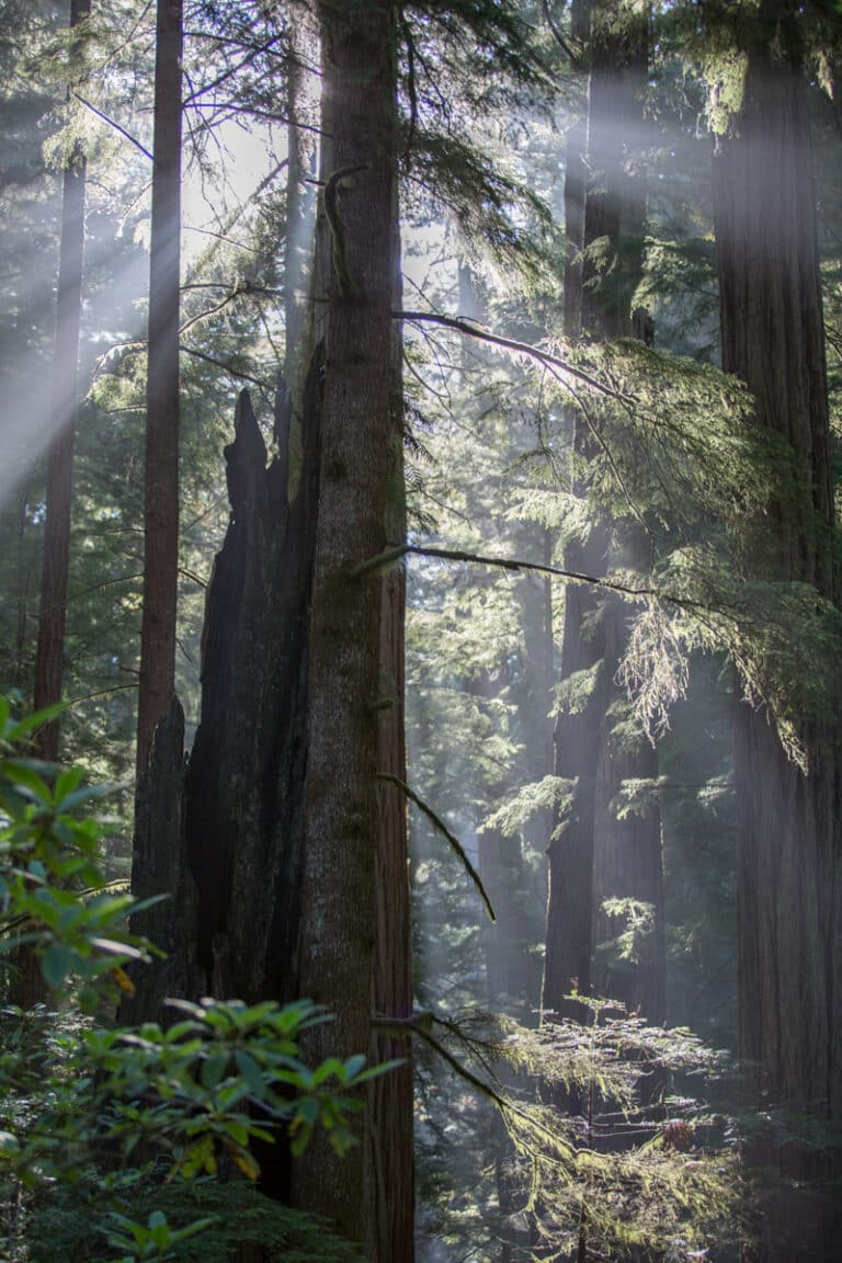 Sunlight through Redwood Trees Photo by Great Things LLC, All Rights Reserved